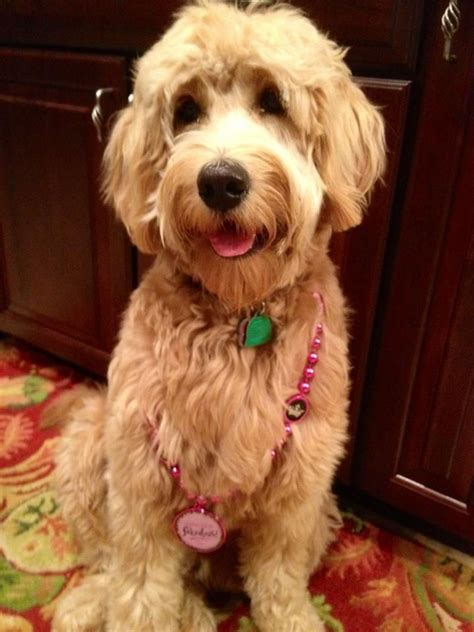 mini goldendoodles for sale in illinois 25 best ideas about medium goldendoodle on