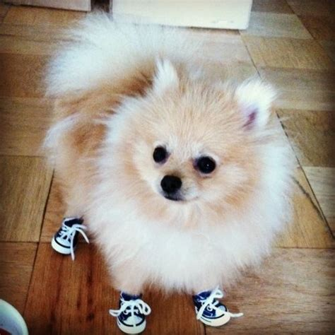 pomeranian slippers a pomeranian wearing sneakers pictures of and so