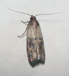 how do i get rid of those moth like bugs in my pantry