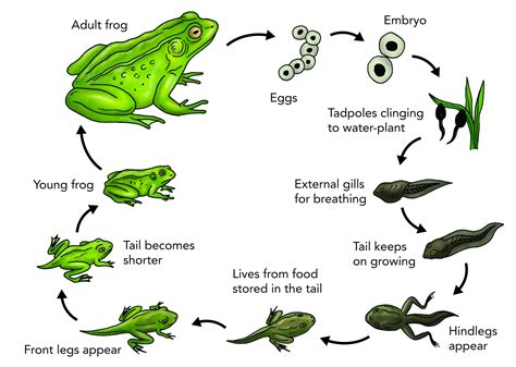 Frog Cycle by The Cycle Of A Frog Wikybrew