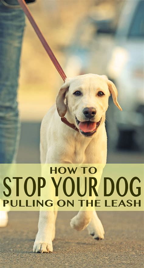 how to stop from pulling how to stop your labrador pulling on the lead