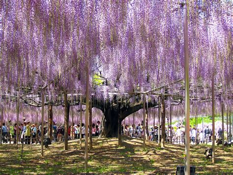 the 100 year old wisteria at japan s ashikaga flower park