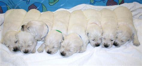 white golden retriever puppies florida puppies for sale white golden retriever dogs