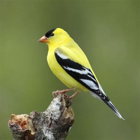 pics of small birds like yellow finches species
