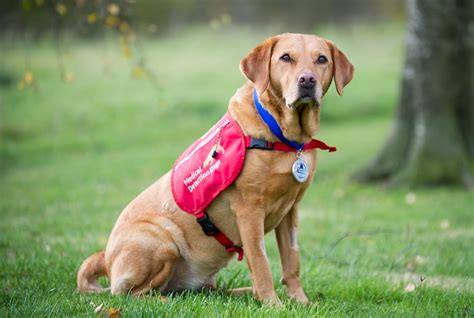 dogs detect cancer meet the labrador who helped us learn dogs could detect cancer