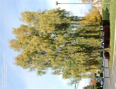 birch tree rubber st plantfiles pictures silver birch warty birch european