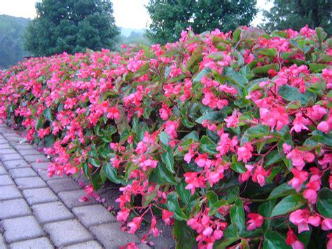 dragon begonias care related keywords dragon begonias care long tail keywords keywordsking