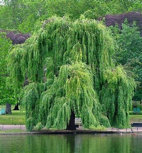 aspirin in water of tree how to make aspirin from a willow tree 171 home remedies wonderhowto