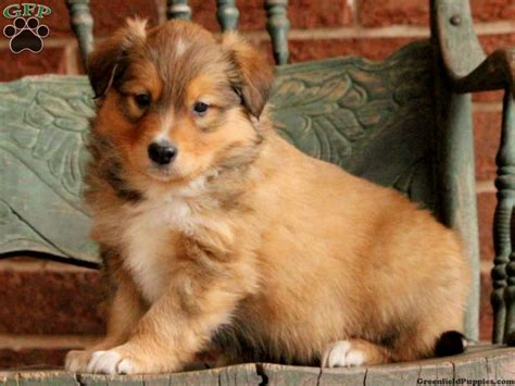 greenfeild puppies puppies for sale in pa find your puppy at greenfield puppies breeds picture