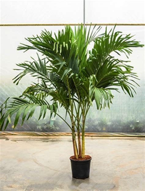 Zimmerpflanzen Bestellen 799 by Palmen K 252 Belpflanzen Terrapalme Heim Und Gartenshop
