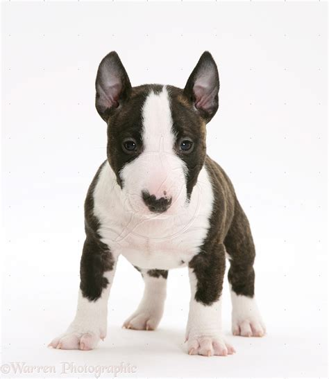 miniature bull terrier puppies miniature bull terrier pup 6 weeks animals