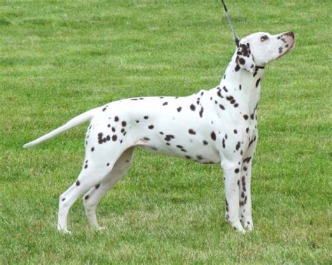 dalmatian puppies for sale california dalmatian puppies for sale in california dalmatian puppies for sale in breeds