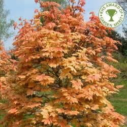 acer pseudoplatanus brilliantissimum buy sycamore tree