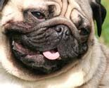 pug boy names pug names for unique one of a males or females