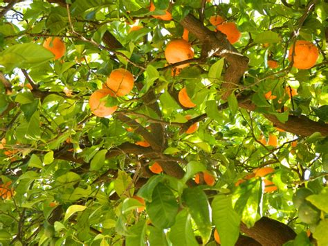 free fruit trees los angeles orangefruits free stock photos in jpg format for free