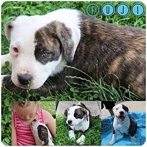 bull terrier pug fuji adopted puppy garden city mi american pit bull terrier pug mix