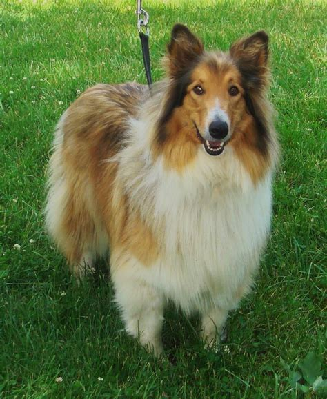 lassie breed lassie collie pictures to pin on pinsdaddy