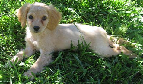 miniature golden retriever puppies miniature golden retriever puppies