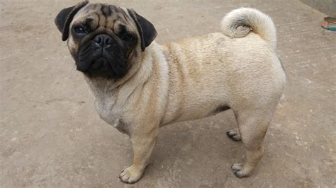 dogs similar to pugs free images pug pets dogs animals vertebrate breed beautiful breed of