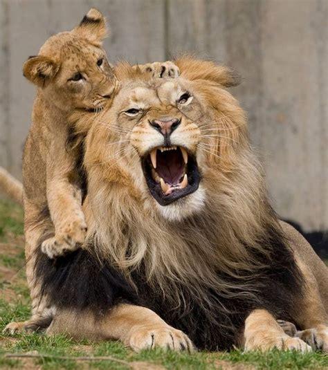 beautiful dangerous beautiful dangerous animals pets of africa beautiful