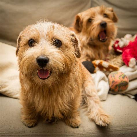 Do Norfolk Terriers Shed by Best 25 Norfolk Terrier Ideas On Terriers