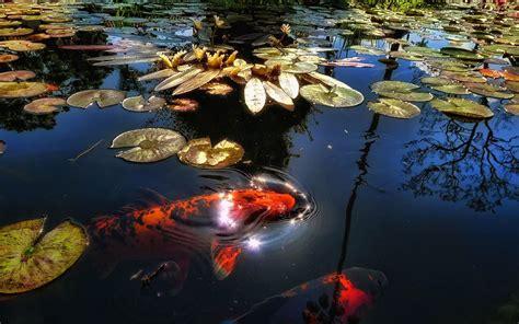 imagenes de zen koi red lotus pool carp wallpaper flower wallpapers free