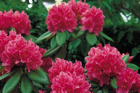 rododendro in vaso rhododendron