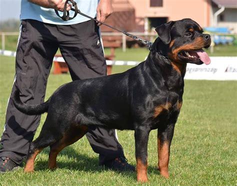 rottweiler 8 months pix 8 months rottweiler for sale pets nigeria