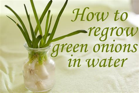 how to grow cut green onions eating richly