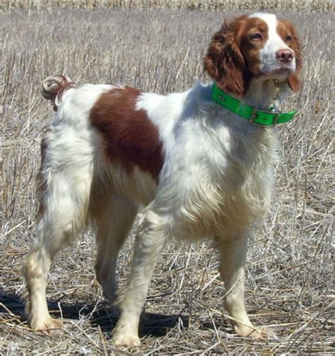 bird dogs for sale puppies for sale gun dogs and bird dogs html autos weblog
