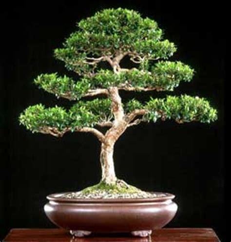 www bonsai haus de mirto array 225 n myrtus communis bonsai