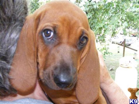 redbone coonhound puppies for sale document moved