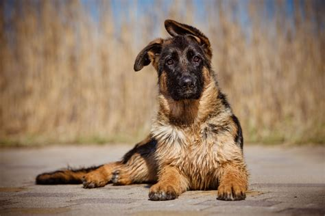 when do german shepherd puppies ears stand up what can you do if your german shepherd puppy s ears don t stand up pets4homes