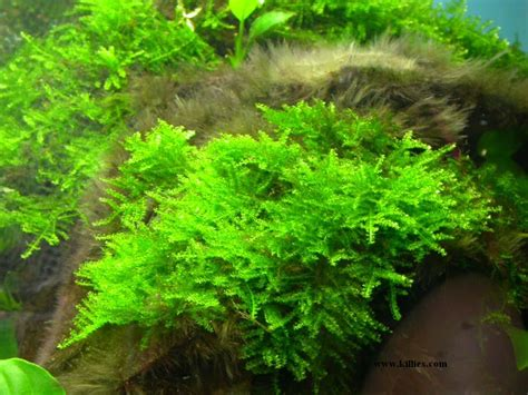 how many types of mosses are there untitled document www killies
