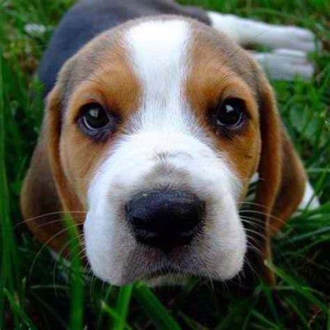 baby beagle puppies baby beagle sweet