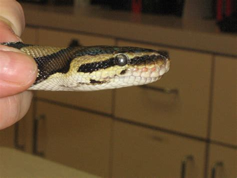 Python Is Trouble Shedding by Retained Eyecaps In Reptiles Causes And Solutions