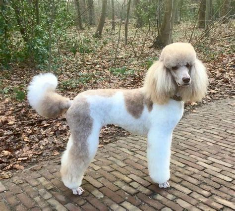 pictures of different poodle haircuts 2289 best birds and dogs images on pinterest animals