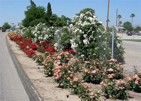 wasco roses 28 images american rose society rows and rows of roses star roses plants