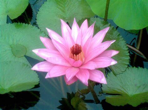 lestari bunga teratai