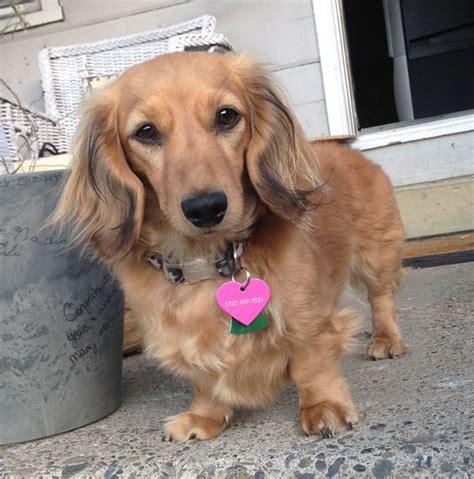 golden dachshund puppies golden dox golden retriever and dachshund mix waggers