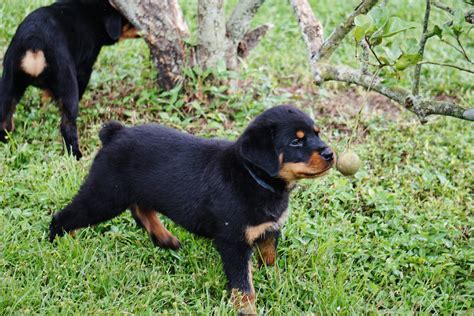 cheap rottweiler puppies for sale in alabama german rottweiler puppies for sale rottweiler puppy photos pedigree