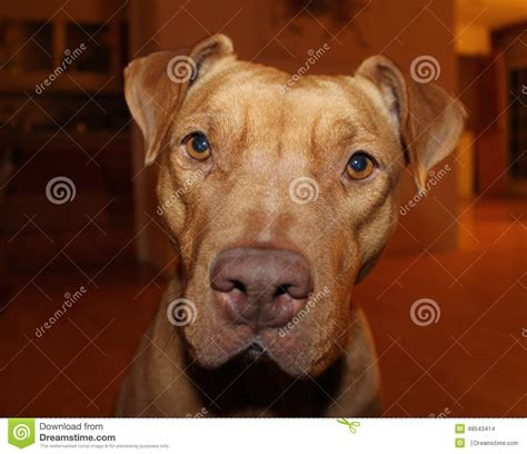 pitbull dog houses pitbull inside house stock photo image 48543414