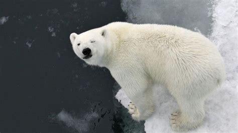 polar bears  white fur referencecom