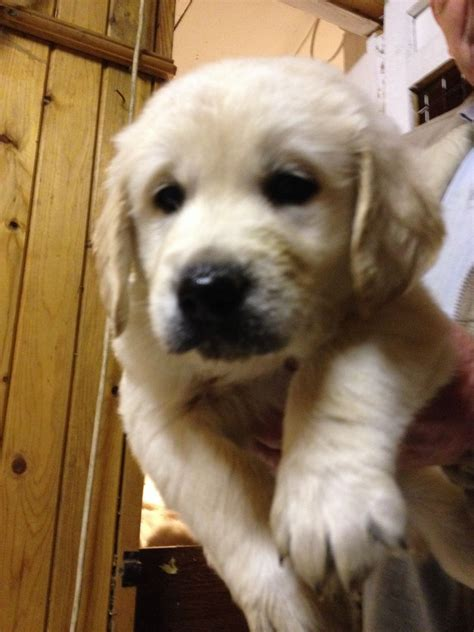 golden retriever for sale toronto golden retriever puppies for sale 650 posted 10 months ago for sale breeds picture