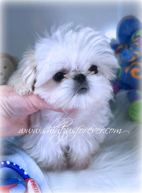 shih tzu puppies adoption best 25 shih tzu for sale ideas on