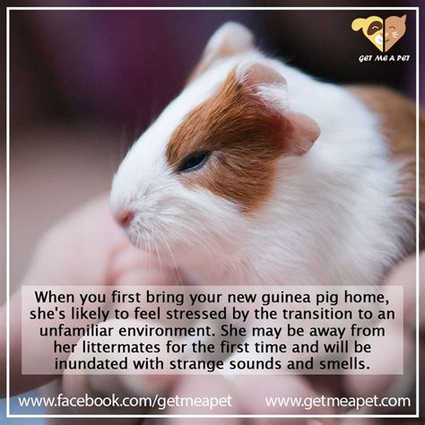 7 Tips On Caring For Pigs by Guinea Pig Care Tip Care Tips Guinea Pig