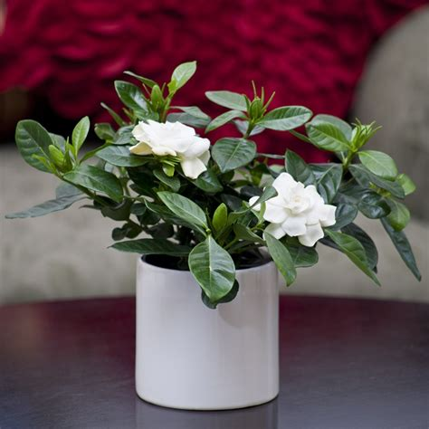 Gardenia House Plant Gardenia In Gloss White Container Flowering Plants