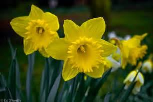 The Flower Daffodil - romantic flowers daffodil flowers