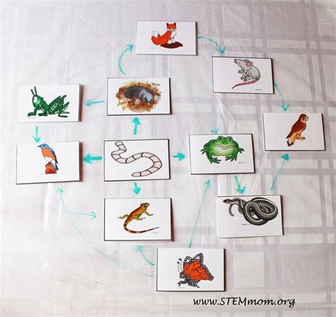 food webs on pinterest food chains science and food sle food web free food chain activity cards from