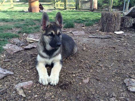 german shepherd malamute mix puppies alaskan malamute german shepherd puppies for sale louth lincolnshire pets4homes